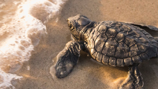 Baby turtle on beach