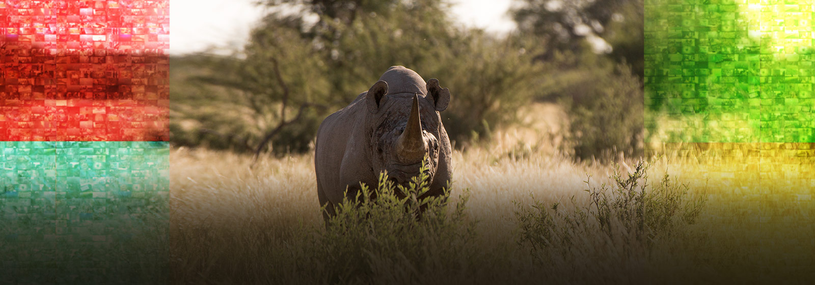 Conservationists use drones to help protect black rhinos.