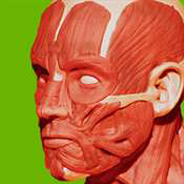Logo Muscular System - 3D Atlas of Anatomy