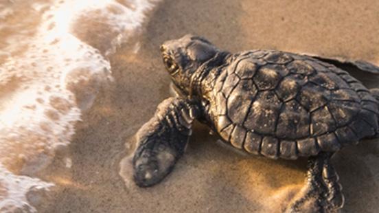 Kis teknős a tengerparton
