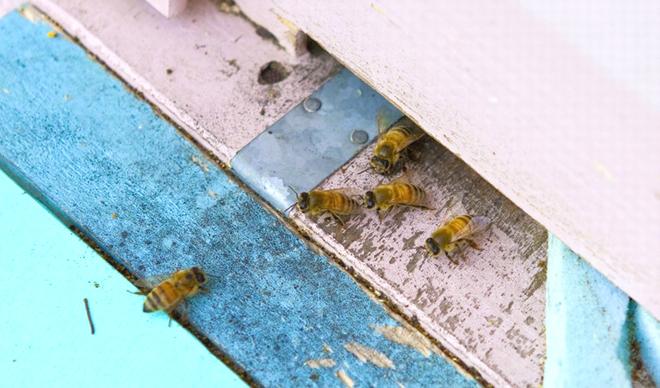 写真:ミツバチ