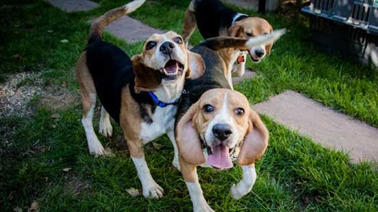 Организация Beagle Freedom Project